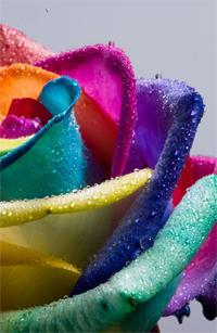 Happy Rose Rainbow Wet - by ~HappyRoses