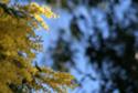 mimosa piccola